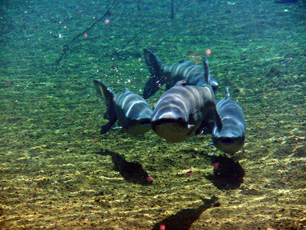 Grass carp found in Grand River sterile | reeves report