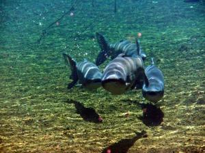 Asian carp in U.S. water.