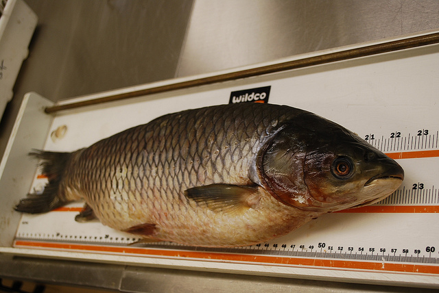 Captured grass carp at Dept. of Fisheries and Oceans research lab in Burlington, ON (Andrew Reeves)