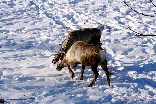 Woodland Caribou (Flickr image from Jim Winstead)