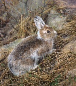 Snowshoe hares are facing increasing challenges as snow patterns are shifting dramatically as a result of climate change.