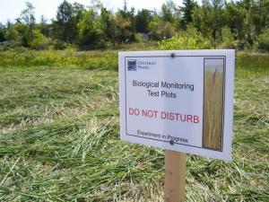 A control test site for invasive plant phragmites at Wasaga Beach on Lake Huron.