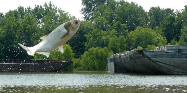 Carp over Barge. (Photo: Dan O'Keefe, Michigan Sea Grant)