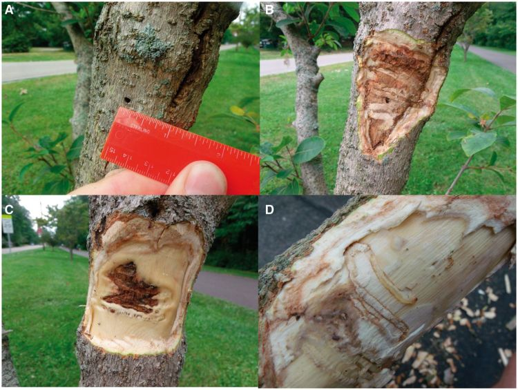 Evidence of the damage caused to White Fringetree from Emerald Ash Borer. Image from Cipollini's report.