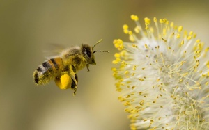 A honey bee collects pollin.